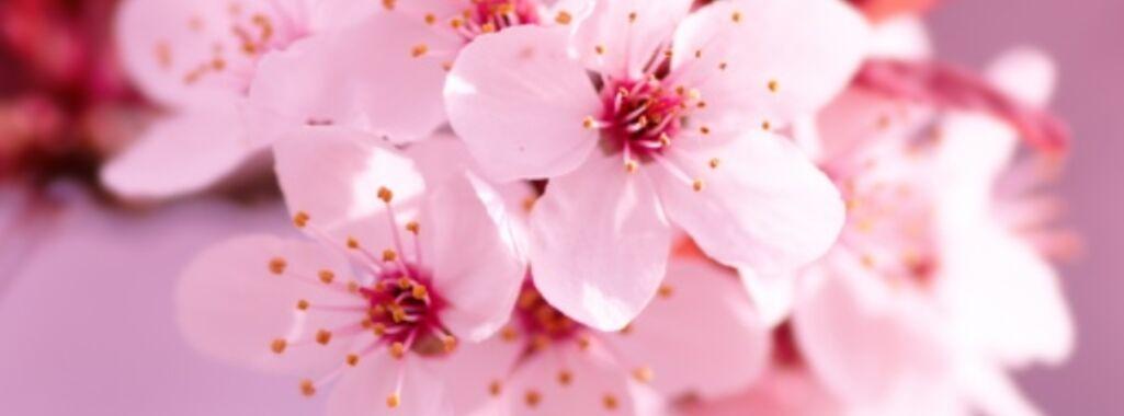 Kiyomi Cherry Blossom.jpg